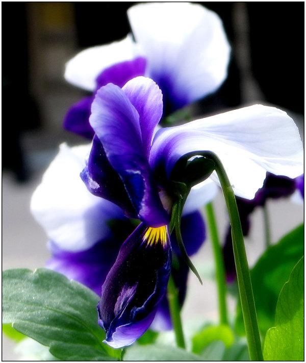 Violet2