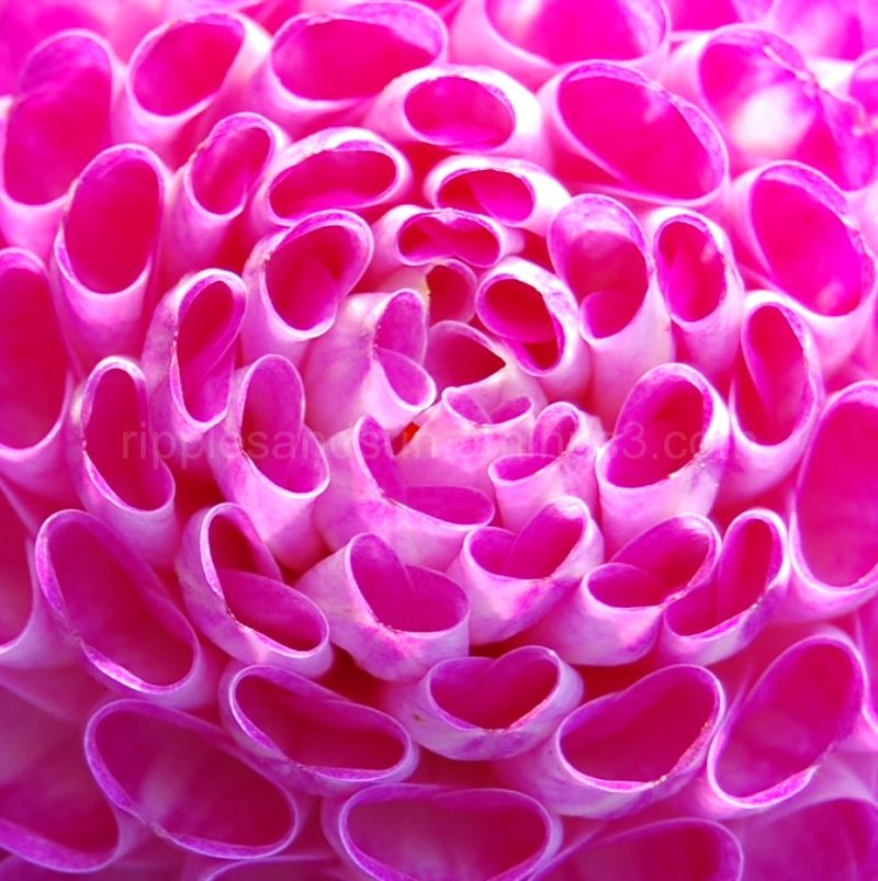zoom on pink flower