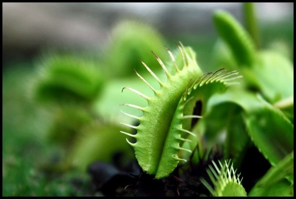 Venus Fly Trap, University Botanical Gardens, Camb
