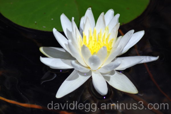 Waterlily 1 (No Effects)