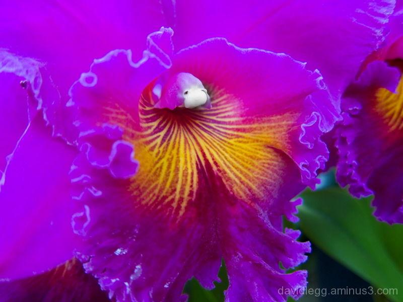 Magenta Orchid