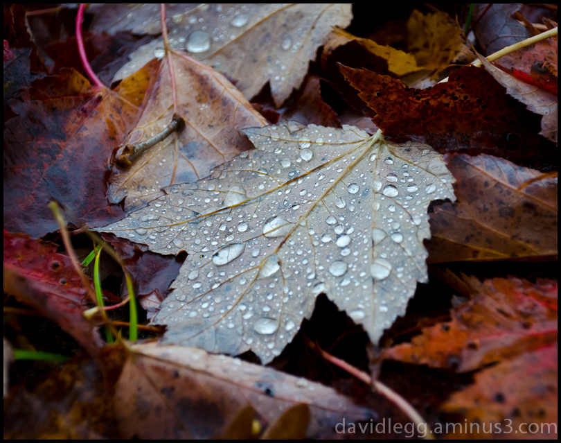 Leaves in the Rain: Maple