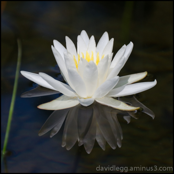 Water Lily Reflections