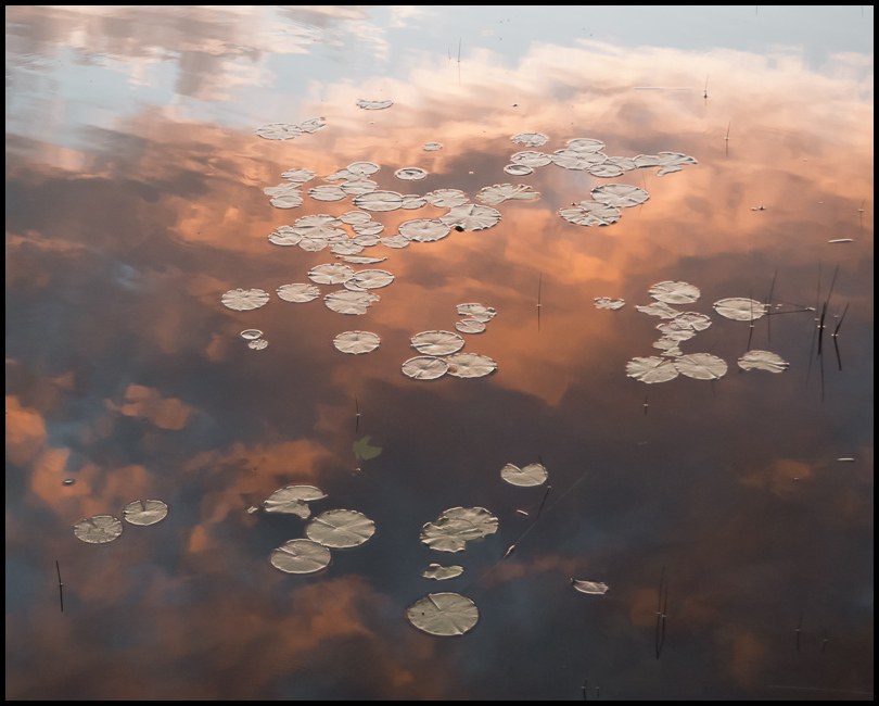 Lily Pads and Evening Reflections
