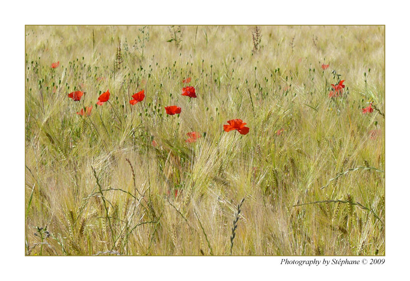 Coquelicots...
