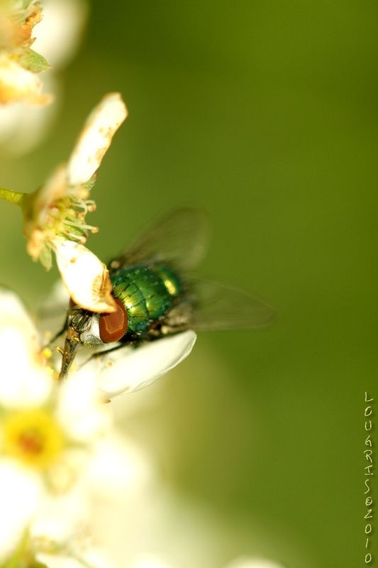 Green fly in a green green world !