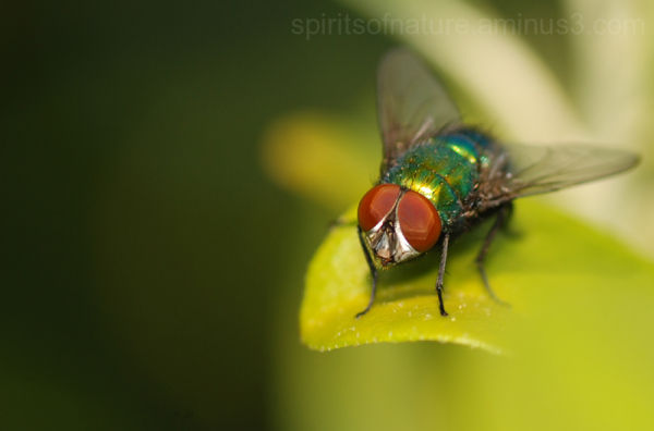 The fly whit the red eyes...