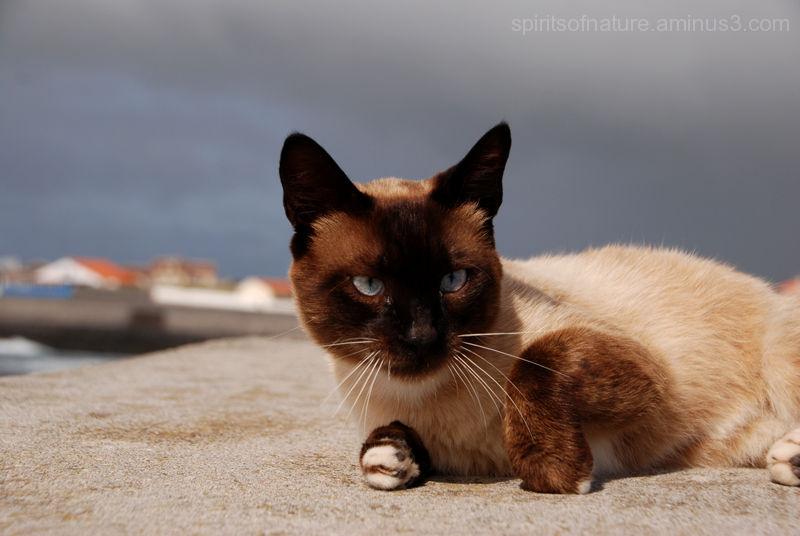 "A cat ""Azoren (4)"""