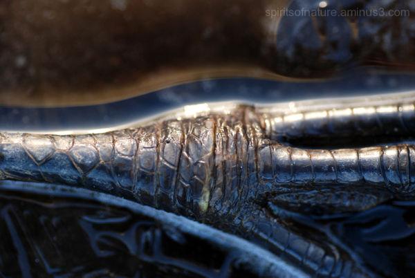 Frozen in ice , feet of a heron(8)