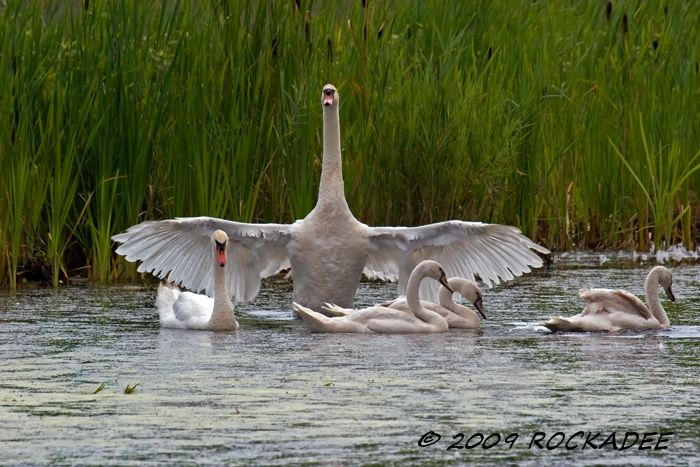 Mute Swans Guardian