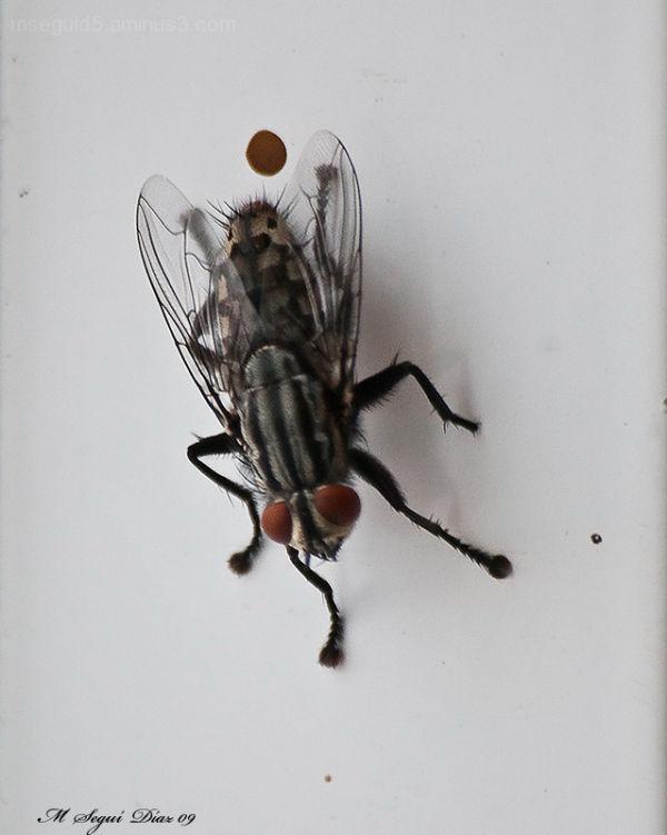 Insectos, dipteros