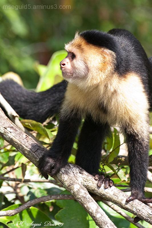 Mono capuchino cariblanco (Panamá)