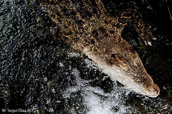Un picado de cocodrilo