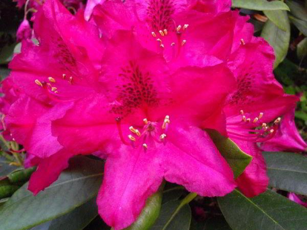 Rododendron Blüten 2