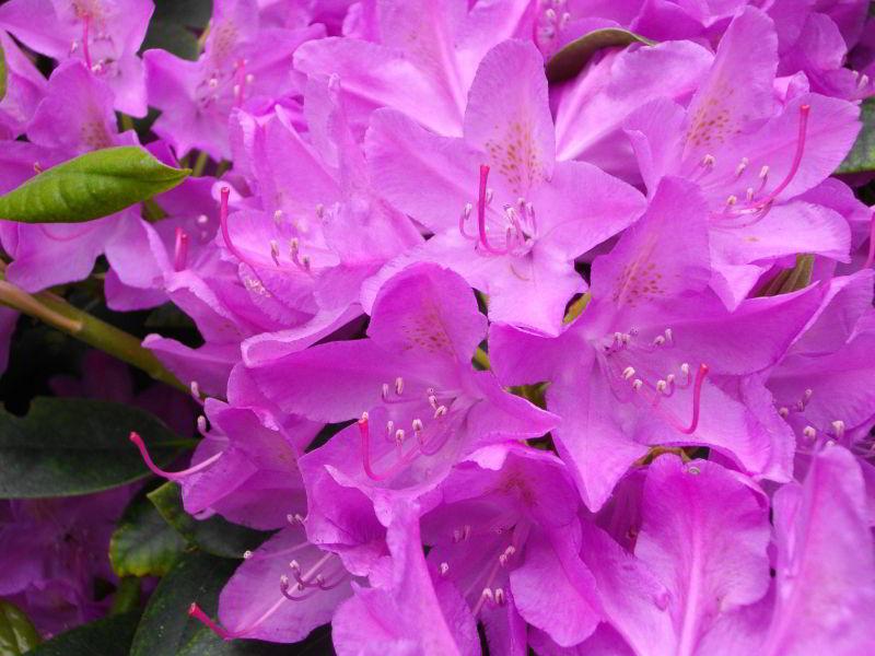 Rododendron Blüten im Garten