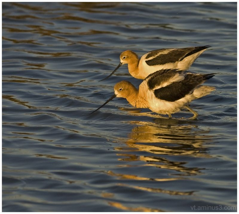 A pair of American Avocets