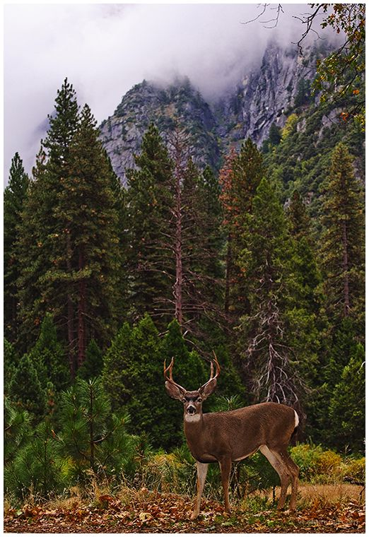 Wild Stag at Dusk, Yosemite, CA