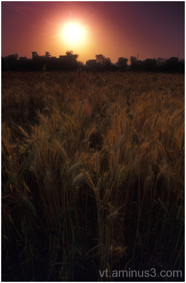 Golden Wheat, Etawah, India