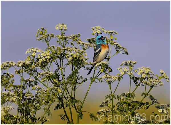 Lazuli Bunting Singing, Skyline Boulavard, CA