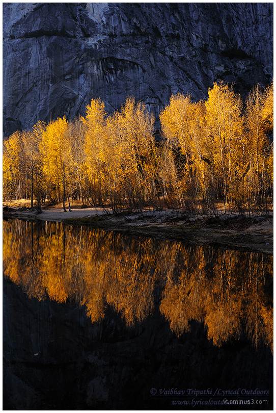 Cottonwoods in Autumn, Yosemite National Park, CA