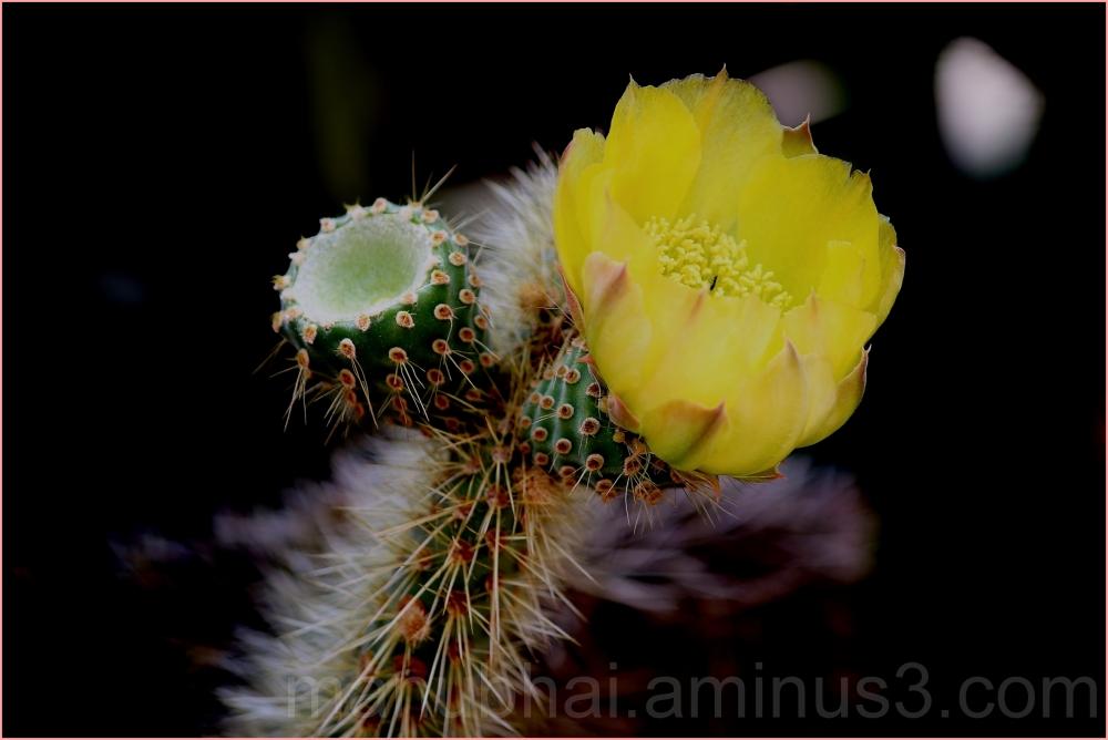 Cactus - Beautiful Yellow