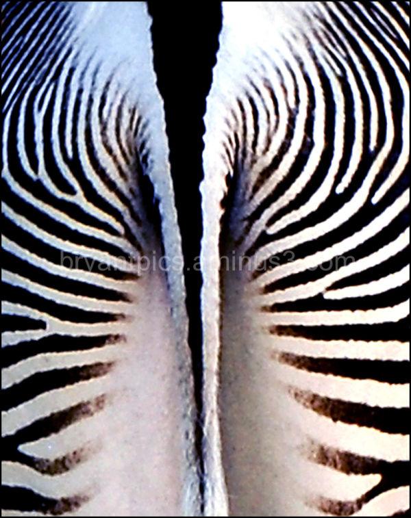 Rear end of zebra