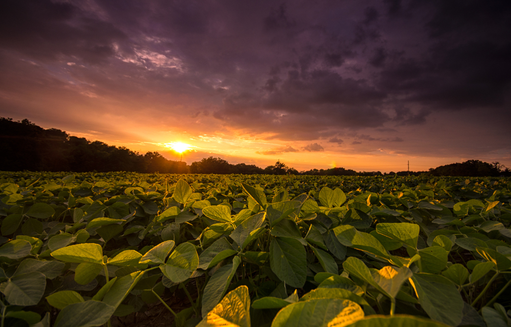 storm sunset over farm crops