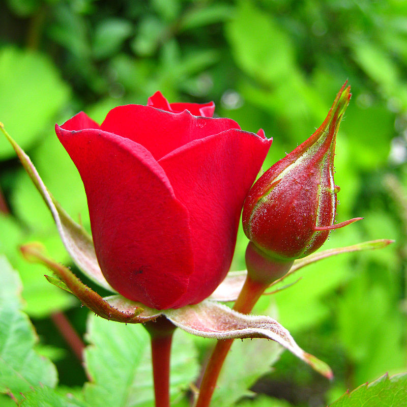 The Rose...
