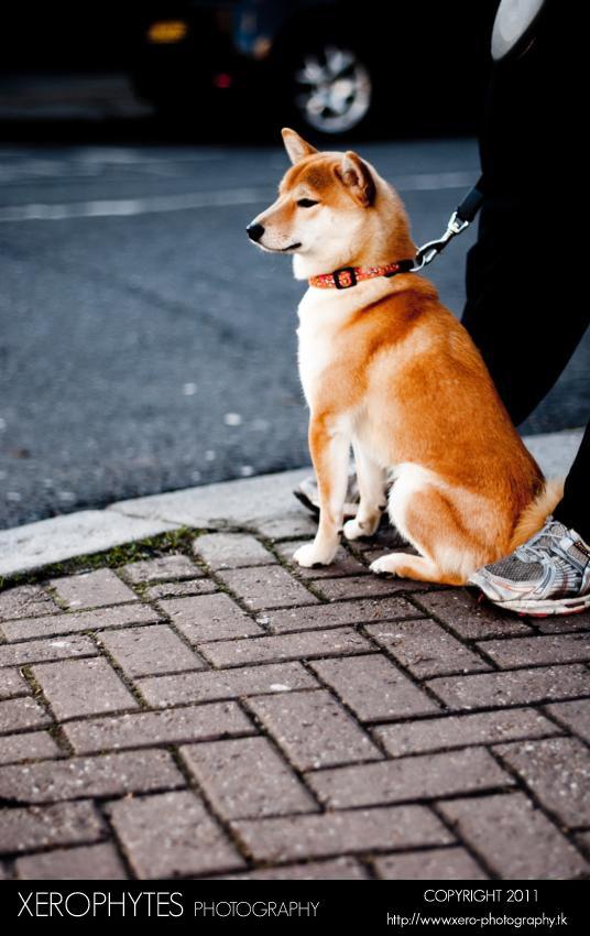 Kenji the Dog