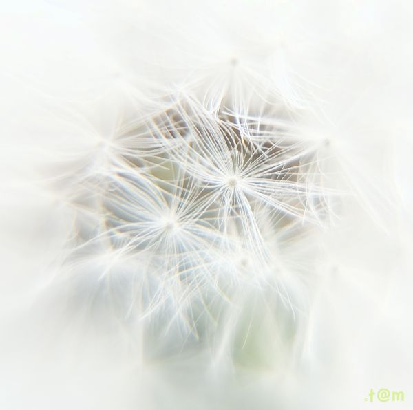 High Key Dandelion