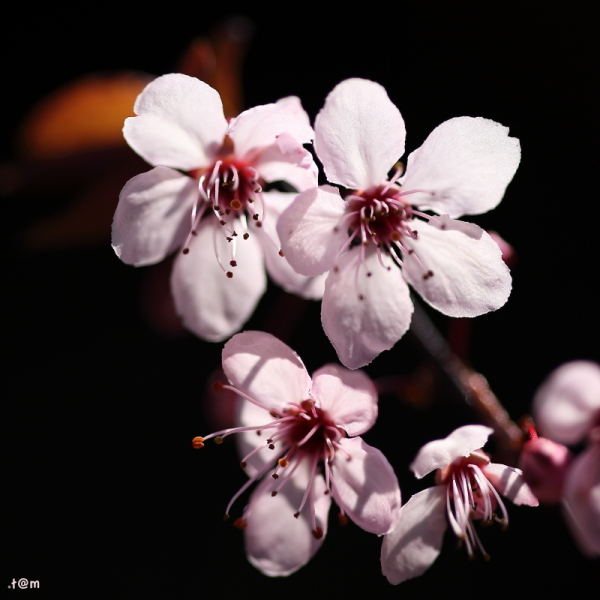 Blossoms flowers pink