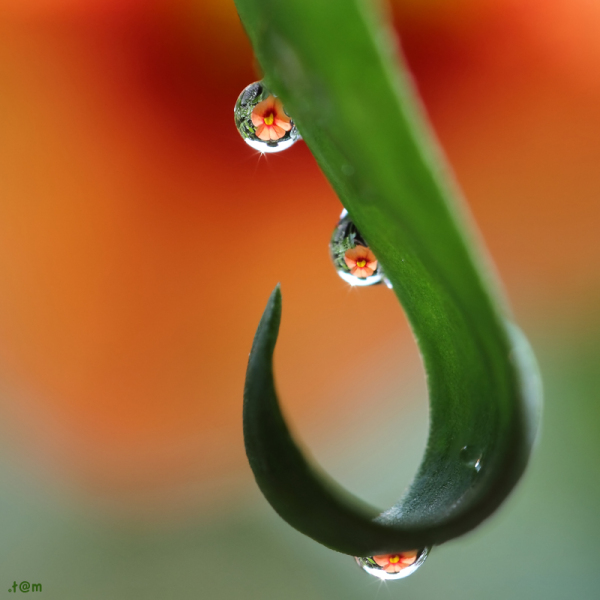 Droplets in surfinia
