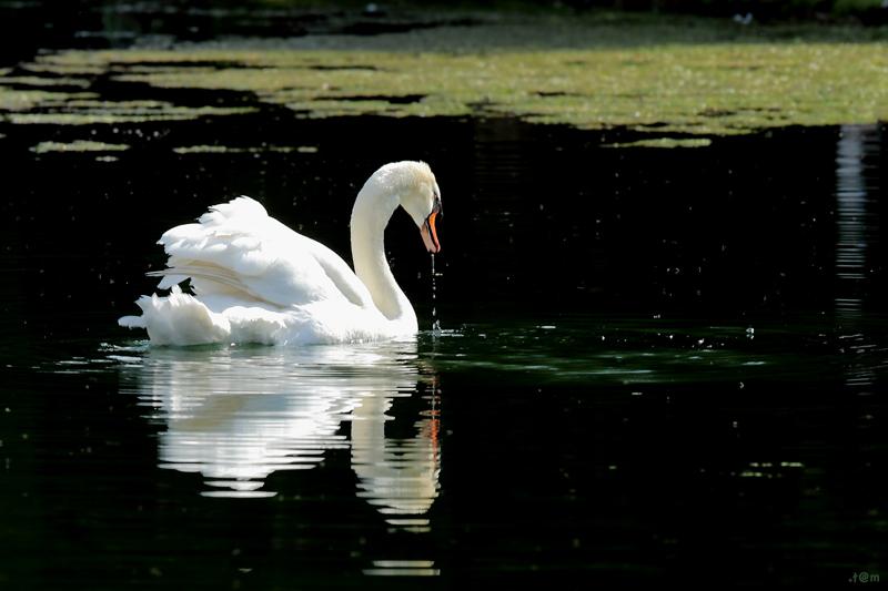 Swan (2/3)
