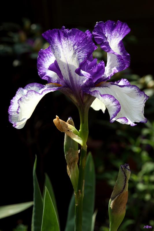 Iris 2/3