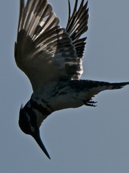 The Dive of the Pied Kingfisher
