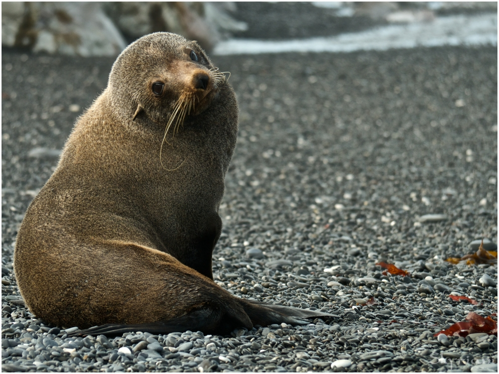 Fur seal I