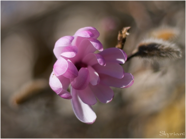 Zuiko magnolia