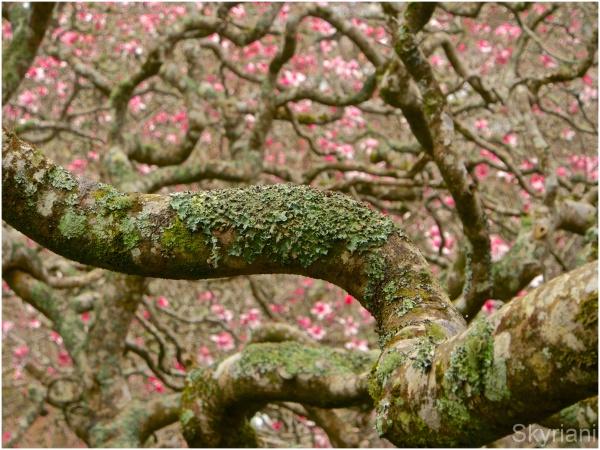 Magnolia Bokeh