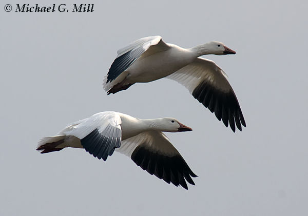 Snow Geese In Flight