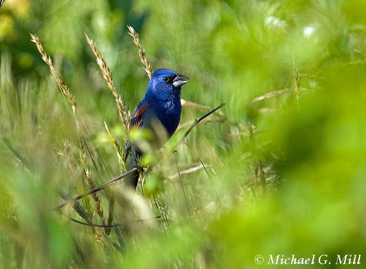 Blue Grosbeak 2