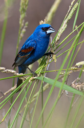 Blue Grosbeak in Habitat