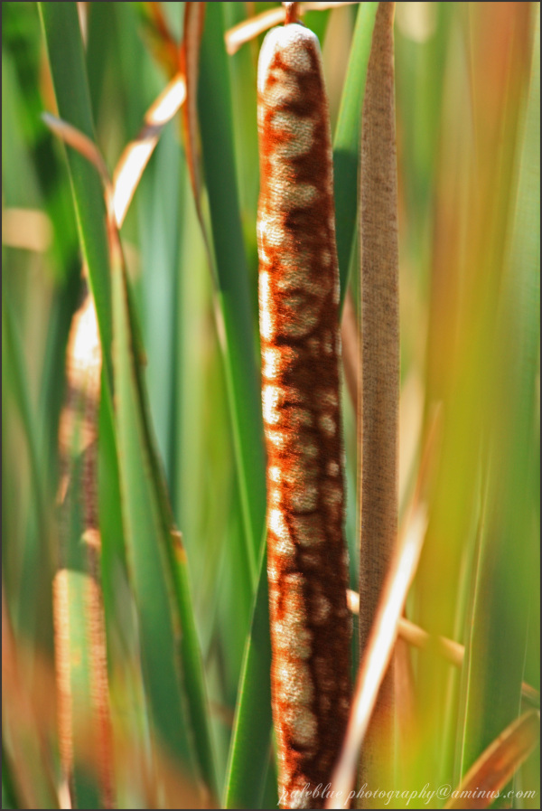 Cattails in the Marsh