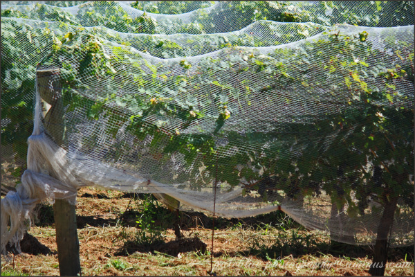 Netted Grapes