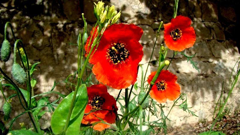 ای شقایق ؛ گل عاشق