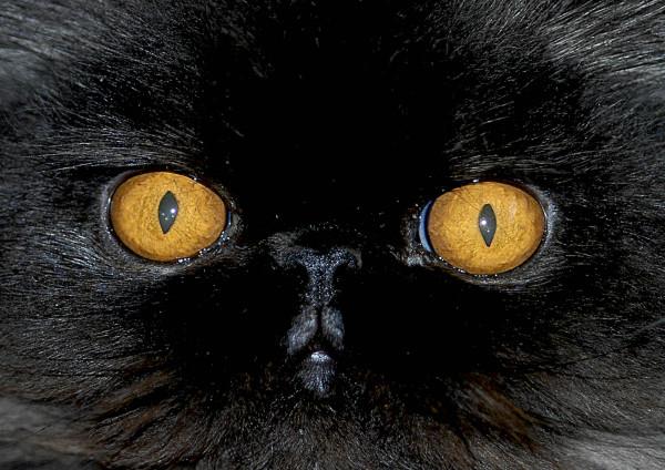Schwarze Perserkatze