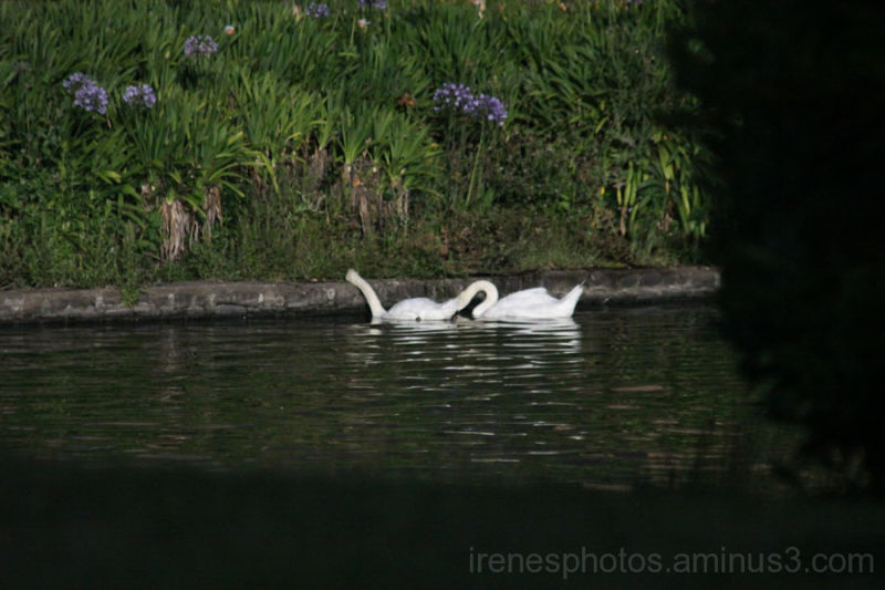 Car View of Swans #1