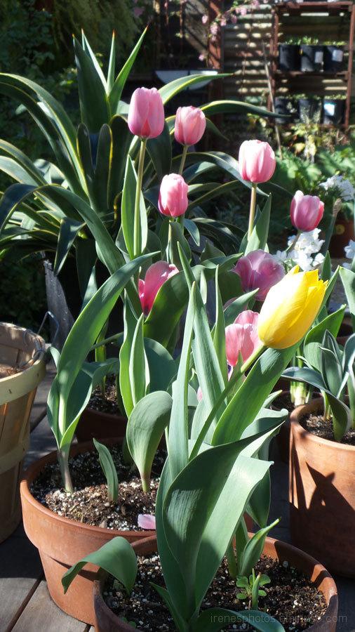 Tulips in Nursery
