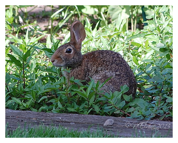 rabbit in garden