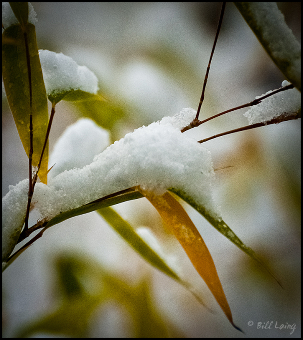 Snow on Bamboo
