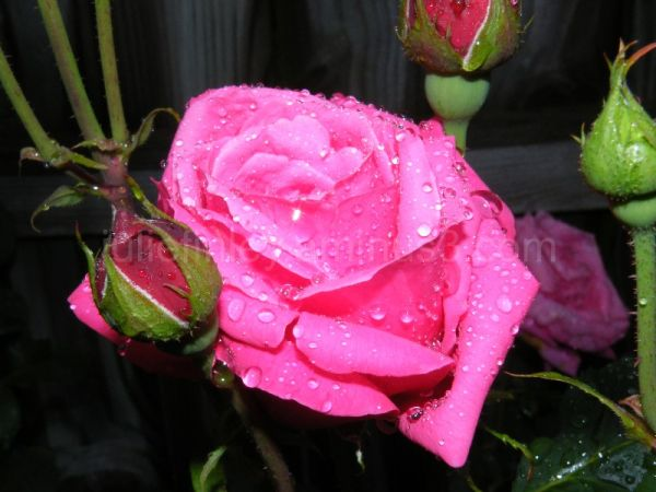 Rain covered rose